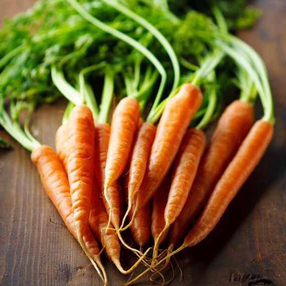 A bunch of heirloom Imperator 58 carrots freshly pulled from the garden with the green tops intact.