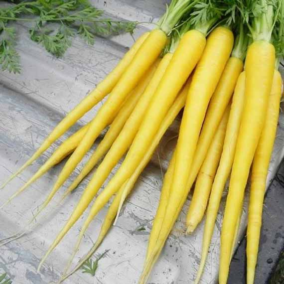 A bunch of solar yellow carrots freshly pulled from the garden.