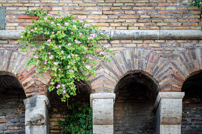 Caper plant flowering on an ancient wall in Rome, Italy.