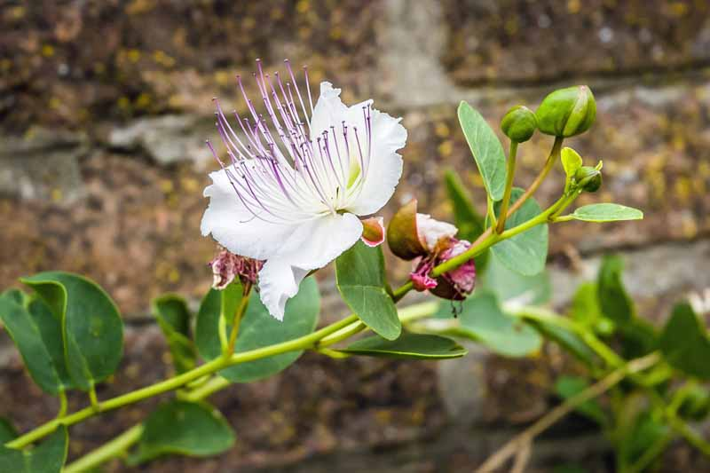 Close up of a caper bush flower and buds growing near an old brick wall.