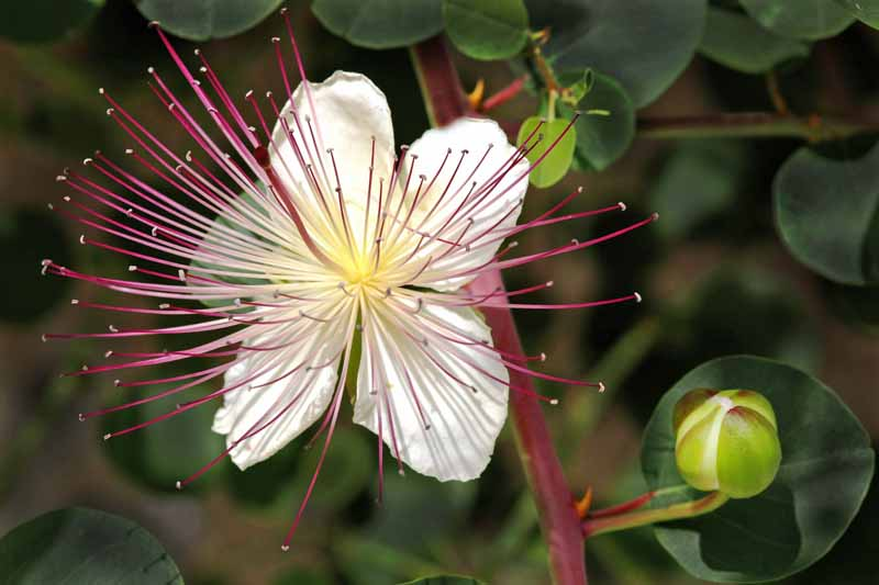 Close up of a single bloom of the Capparis spinosa flower, or caper bush.