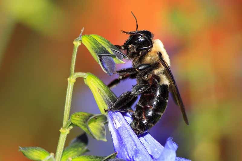 Carpenter Bee feeding on nectar of blue flowers.