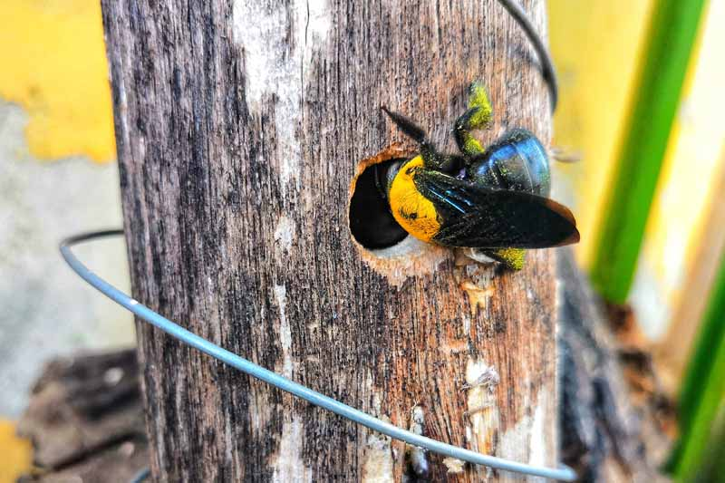 A carpenter bee enters into a drilled hole in a tree trunk.