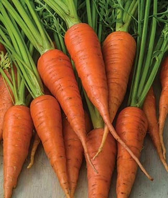 'Short 'n Sweet' carrots, freshly harvest and in a bunch.