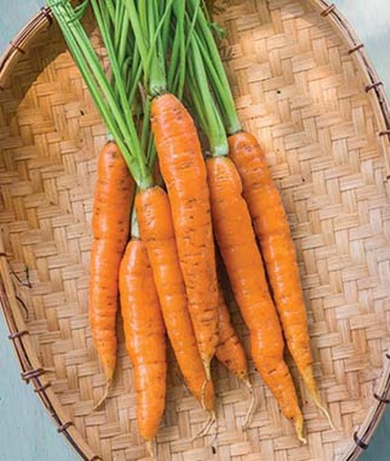 Freshly harvested 'Touchon' carrots.