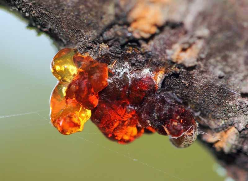 Close up of a branch in a cherry tree with amber sap emerging from the bark.