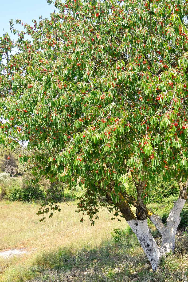 A photograph encompassing most of an entire cherry tree which has ripe fruit hanging from it.