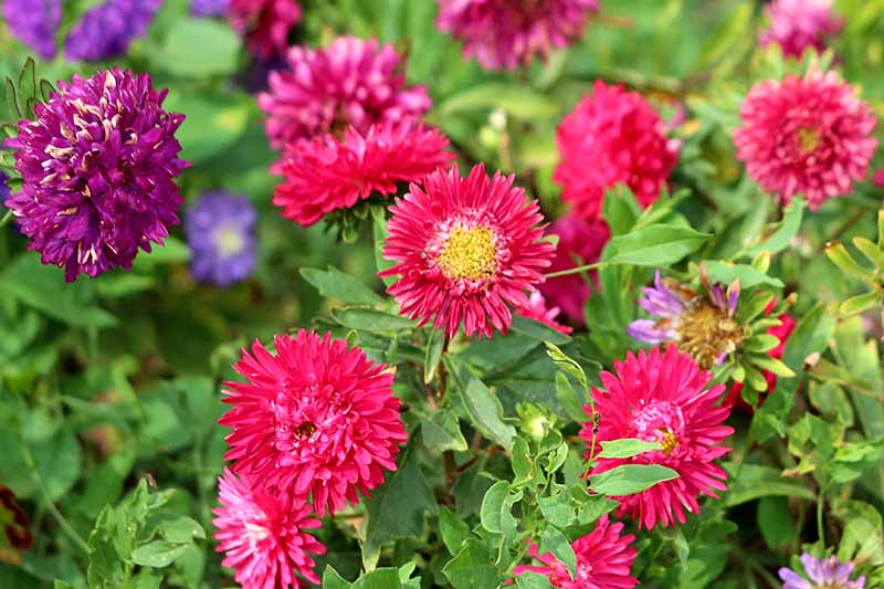Horizontal image of purple and pink China asters with green leaves, in bright sunshine.