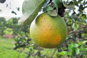 What Is Citrus Greening Disease?