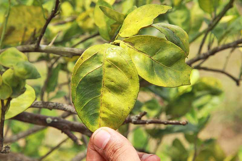 Closeup closely cropped image of a hand holding a leaf that has yellowed in an asymmetrical pattern, a sign of citrus greening disease.