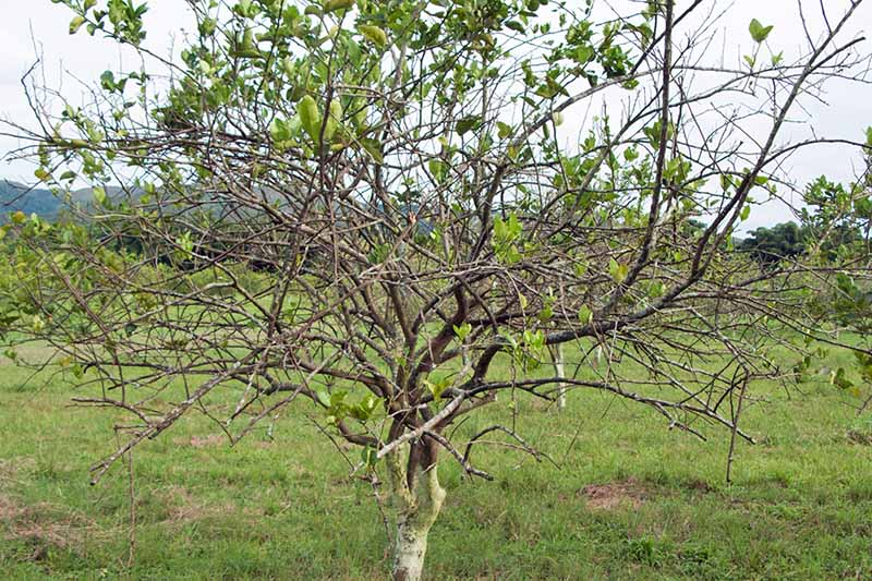 An orange tree infected with HLB growing in an orchard, with green grass and a cloudy white sky.