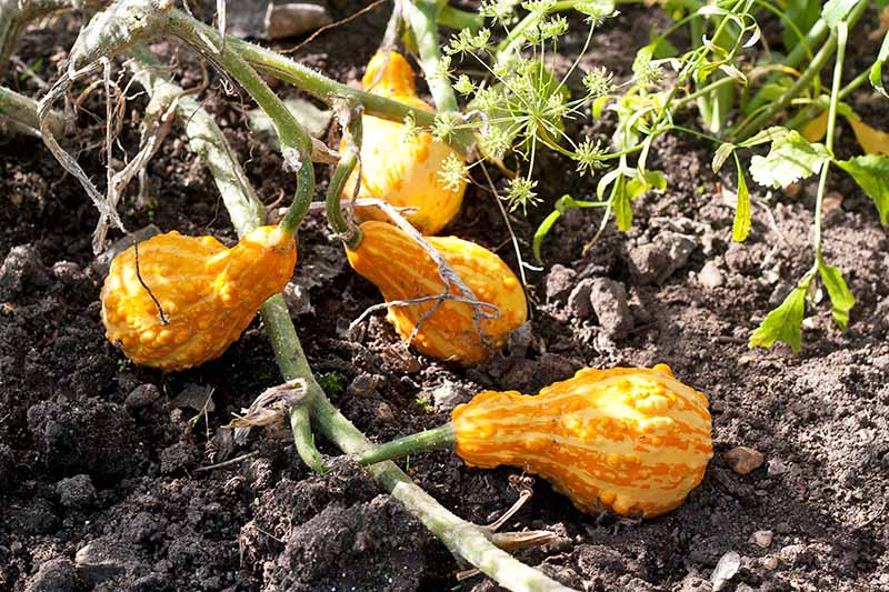 Orange gourds growing on a green vine in dark brown soil, in bright sunshine.