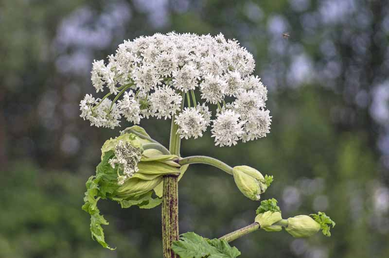 Cow parsnip in bloom in a pasture. Closeup image.