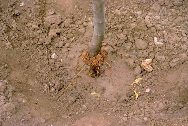A young apple tree trunk with crown gall on its base.