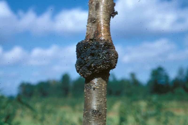 A crown gall on a apple trunk with a blue sky background.