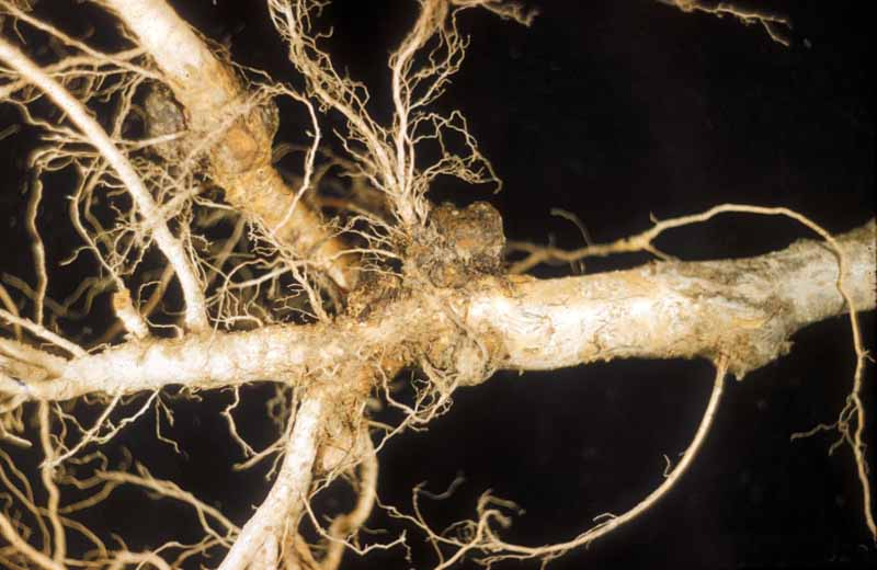 A young tree rootstock showing the effects of crown gall infection.