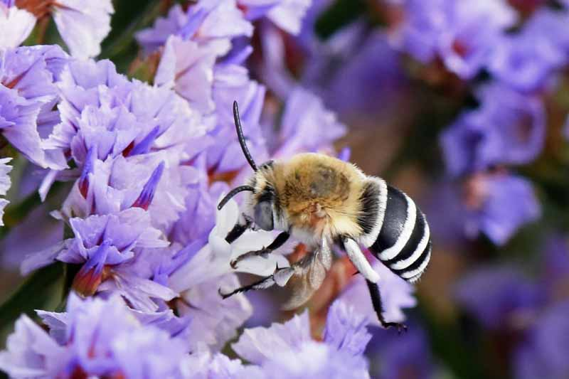 A digger bee on lavender colored flowers.