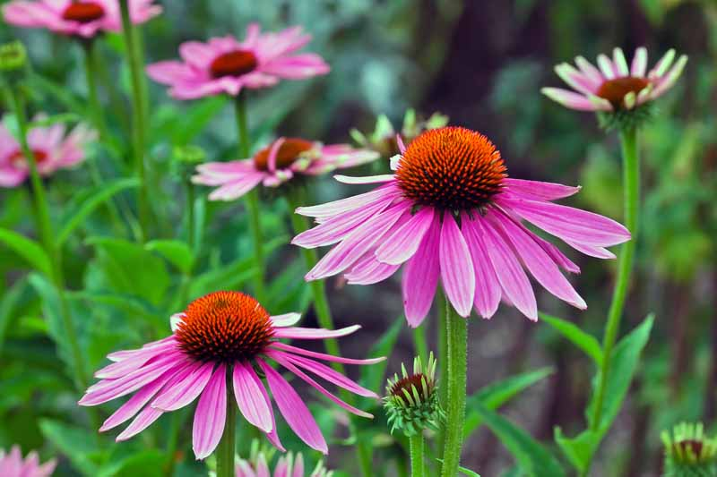 Purple Coneflowers in bloom
