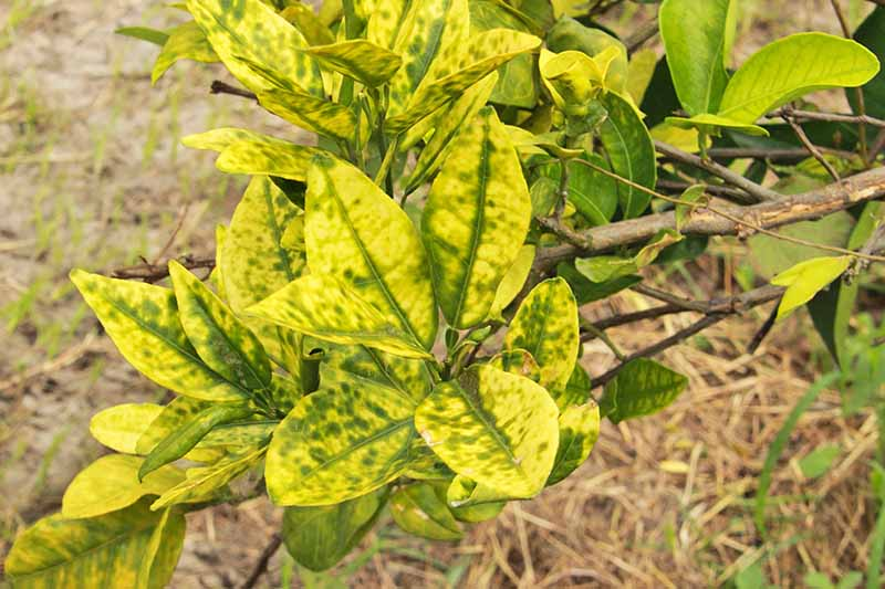 Yellowed leaves of a tree with citrus greening disease, with mulch-covered ground in the background.