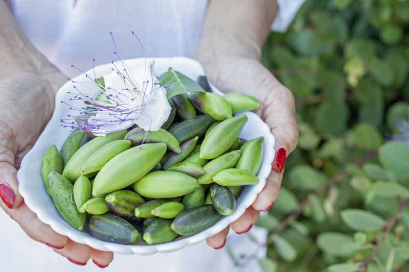 A woman's hands holding a white ceramic bowl full of freshly harvested green caper buds.