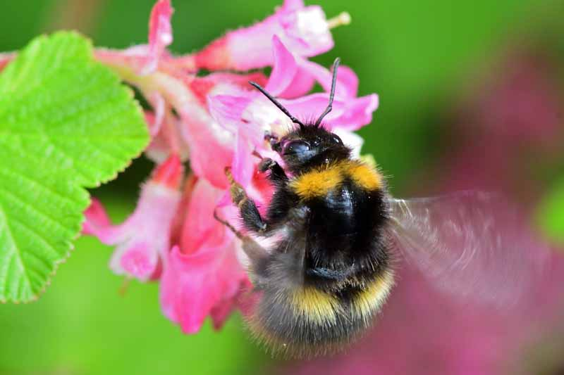 Macro shot of a North American bumblebee feeding on the nectar of the blossom on a ribes plant.