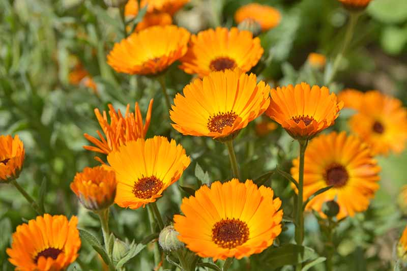 Orange calendula flowers with brown centers and green leaves and stems.