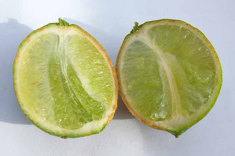 A lime infected with citrus greening disease, with a discolored rind, cut in half and displayed on a gray background.