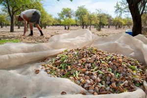 How and When to Harvest Almonds