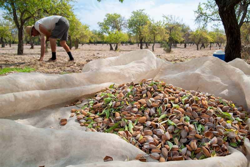 Close up of a pile of almonds on a white ground cloth under an orchard canopy. A man in the background continues to hand pick some off the ground.