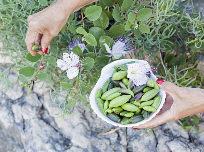 A pair of female hands picks caper buds and blooms from the vines.