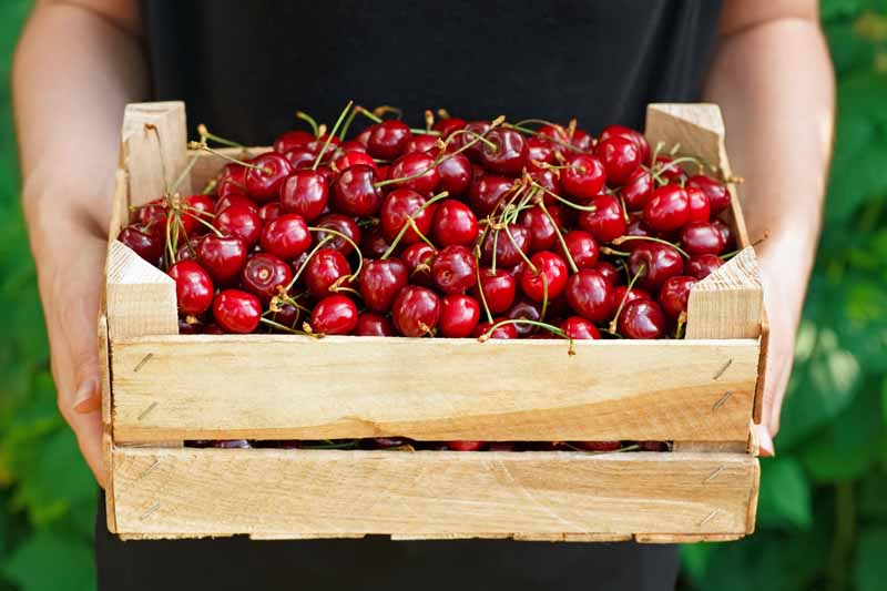 Harvested cherries in a wooden crate held by two human arms.