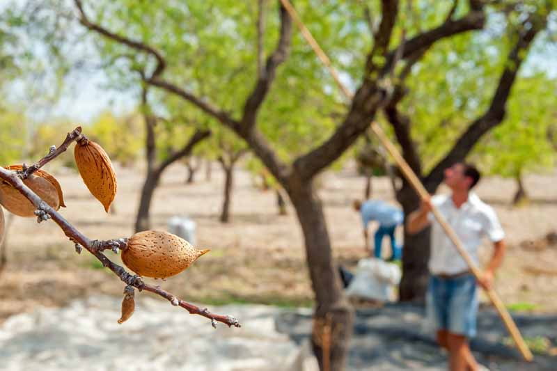 Almonds on the tree in focus in the foreground. A man in the diffused background uses a pole to shake branches to allow for more nuts to drop.