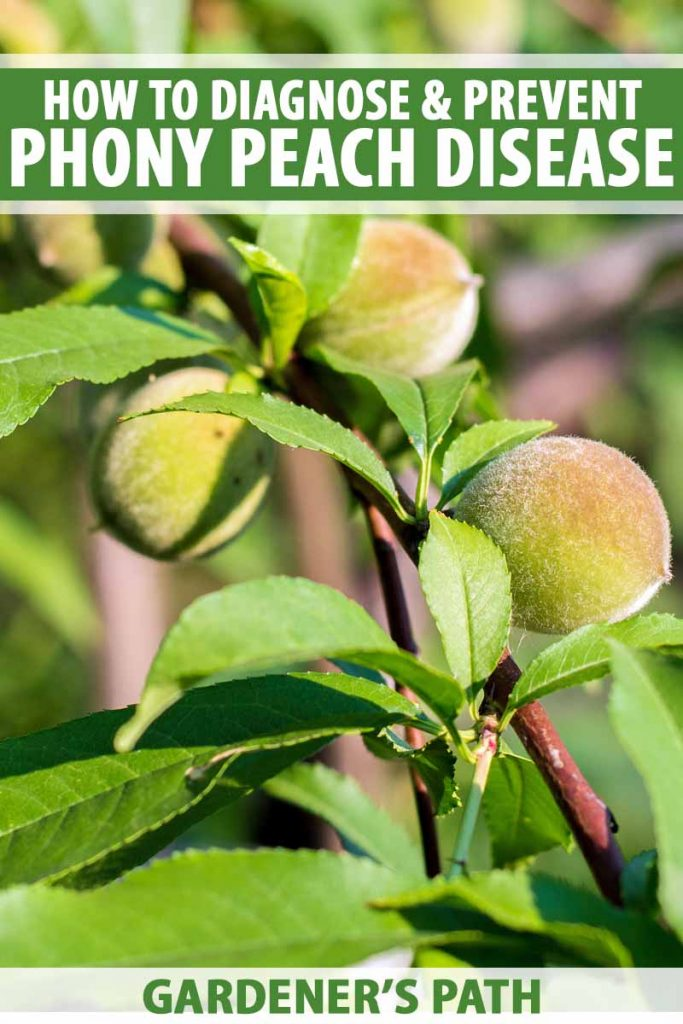 Close up of small peaches affected by phony peach disease.