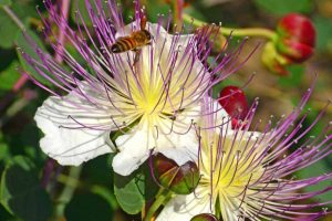How to Grow and Use Capers
