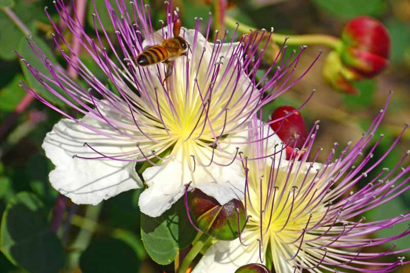 Close up of of the purple, white, and yellow blooms of the caper bush, Capparis spinosa.