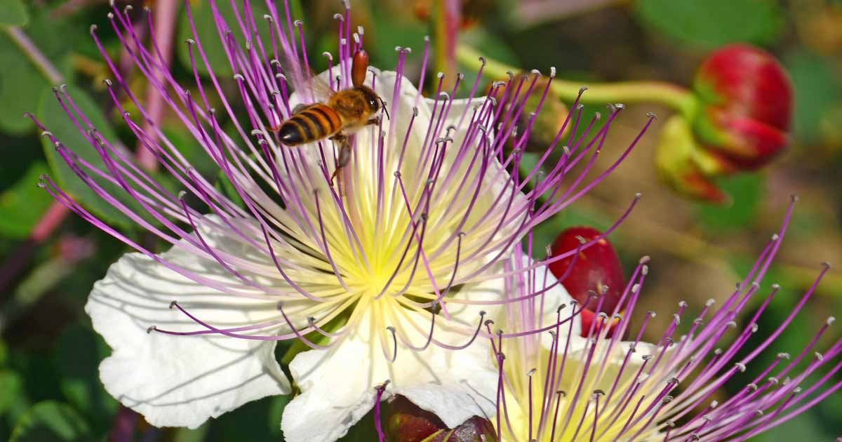 Grow And Use Capers Learn About The Caper Bush Gardener S Path,Summer Drinks With Vodka