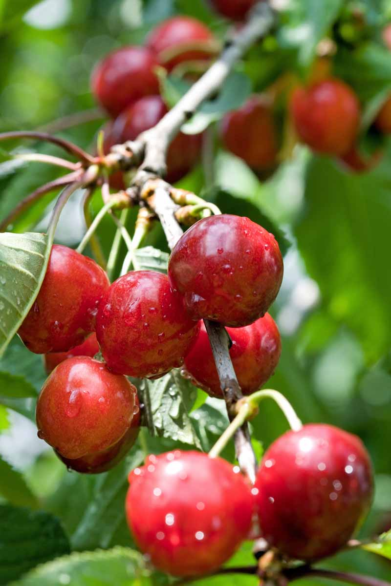 Close up of fresh dark red cherries growing on a branch.