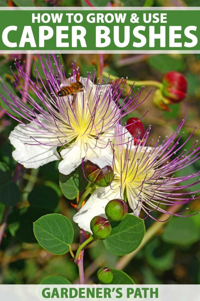 Close up of two caper blooms with several unopened flower buds.