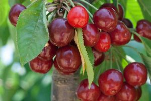 How to Grow and Care for Fruiting Cherry Trees