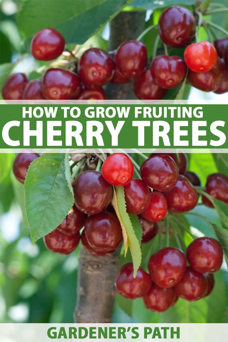 How To Grow And Care For Fruiting Cherry Trees Gardener S Path