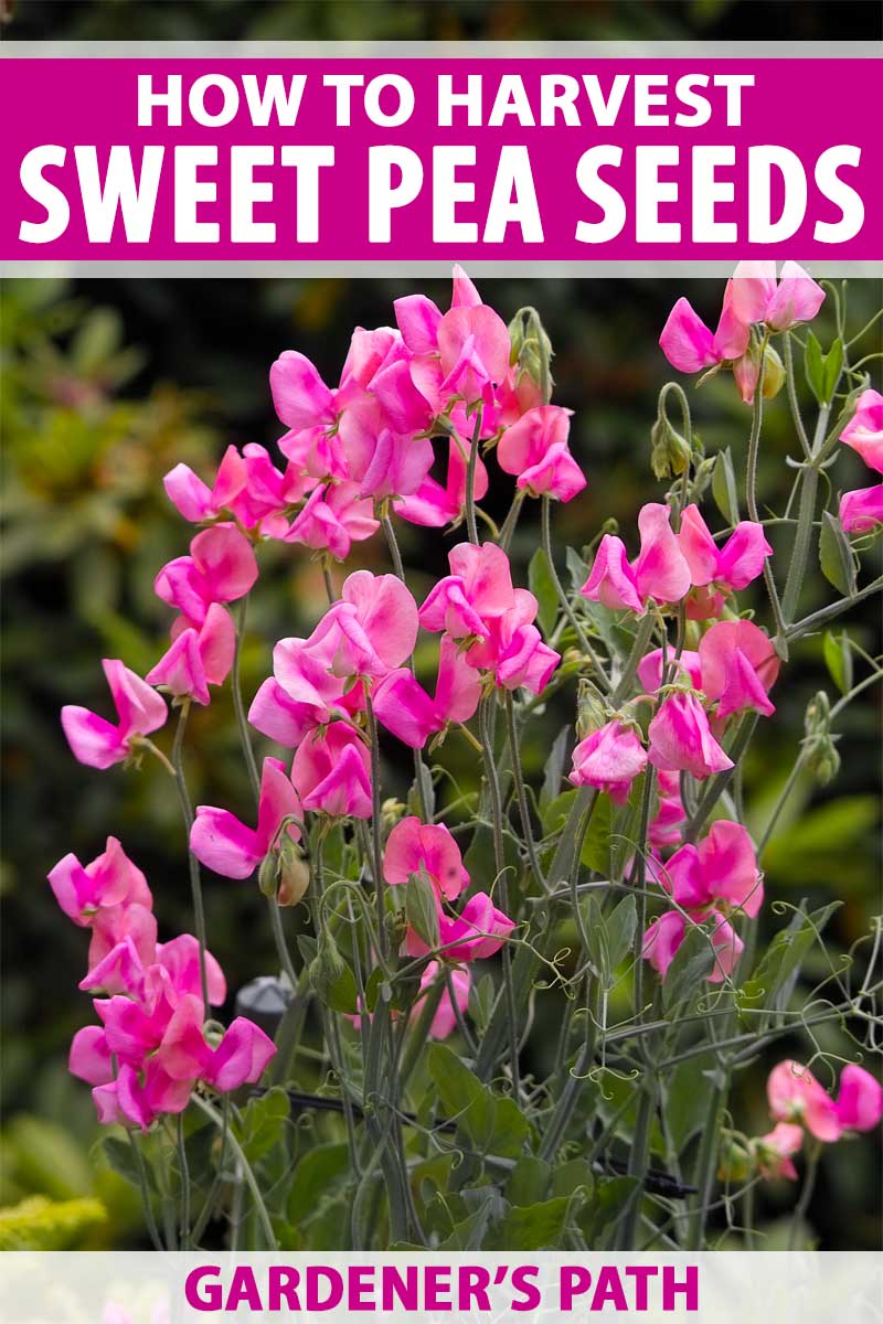 How And When To Harvest And Store Sweet Pea Seeds Gardener S Path