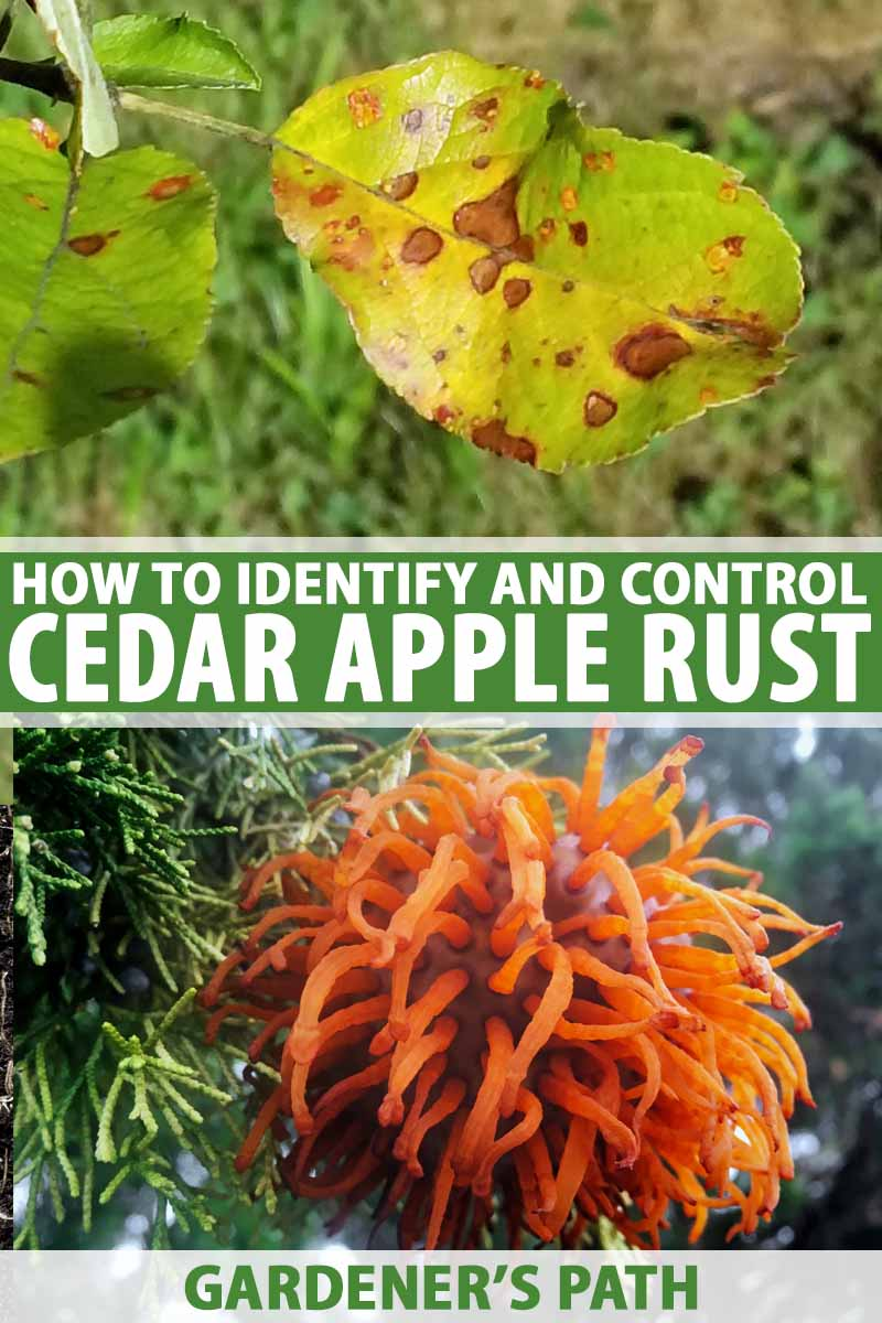 A collage of two photos with the upper one showing cedar apple rust on tree leaves and the lower one showing orange growths on cedar tree limbs.