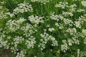 How to Identify and Control Caraway Pests and Diseases