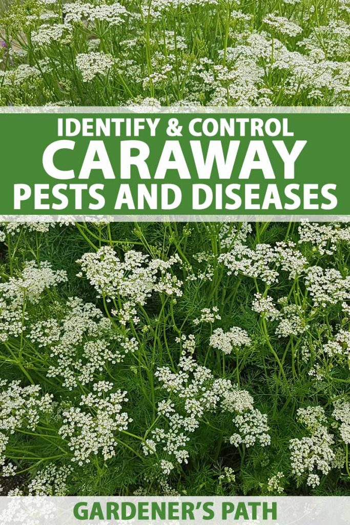 A patch of caraway plants in bloom.