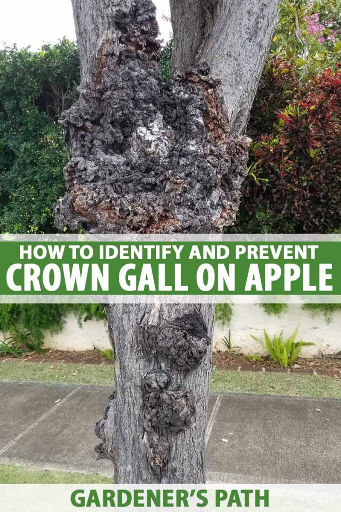 The trunk of an apple tree with a crown gall growth.