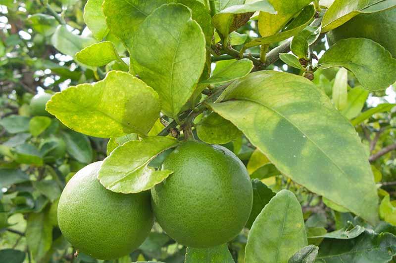 Green fruit and yellowed leaves on a citrus tree infected with HLB.