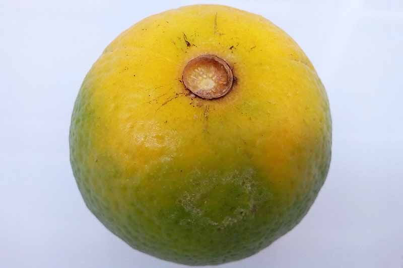 A green, discolored orange infected with HLB on a gray background.