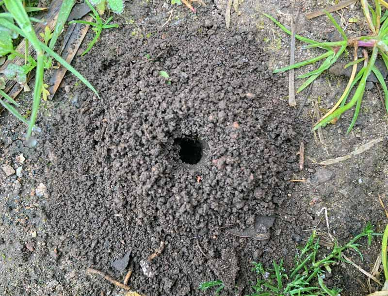 Top down view of a mining bee nest.