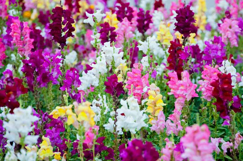 A mass planting of snapdragons, including purple, pink, yellow, and white varieties.