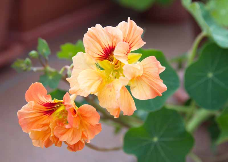 Orange flowers of Nasturtium floridanum.